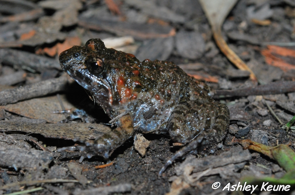 Australian Frogs Photography: KEUNEA PHOTOGRAPHY: Tusked Frogs at my