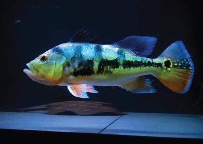 Peacock Bass Monoculus Si Roket Dengan Wajah Manusia