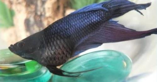 Penyebab Sisik Nanas Pada Ikan Cupang Serta Cara Mengobatinya Cupang Sehat