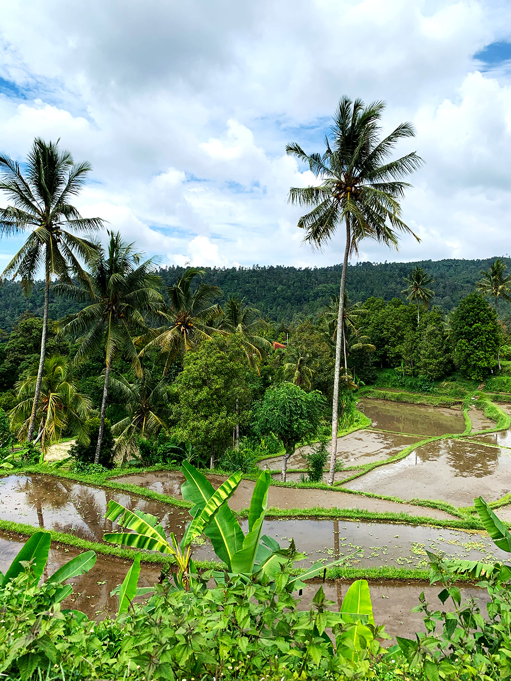 Risfält på paradisön Bali, Indonesien