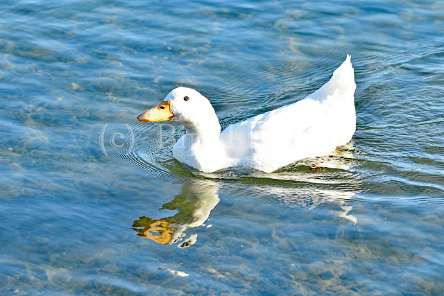American Pekin on Water