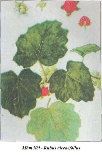 Cây và quả Mâm Xôi - Rubus alceaefolius - Nguyên liệu làm thuốc Chữa Bệnh Tiêu Hóa