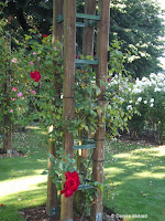 Dublin Bay climbing rose - Mona Vale Garden, Christchurch, New Zealand