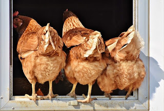 pakan ayam petelur