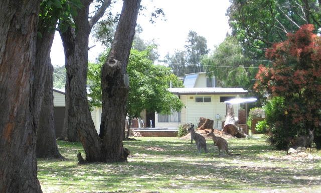 Framed by tree trunks and shrubs, two Eastern Grey kangaroos are resting on a leaf-covered lawn in dappled shade. They are facing left. Behind them one can see a yellow painted house and a spa pool.