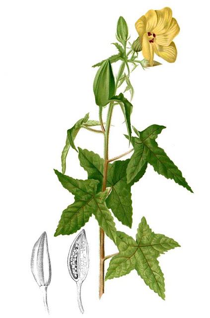 Vông Vang - Hibiscus abelmoschus - Nguyên liệu làm thuốc Đắp vết thương Rắn Rết cắn
