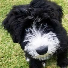 Siberian Husky Poodle mix (Siberpoo) Temperament, Size, Adoption, Lifespan