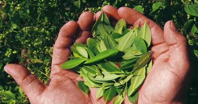 Aprobado en primer debate del Senado, proyecto que regula el uso de la hoja de coca