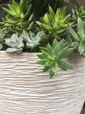 cactus, cacti, cactus planter, sedum succulent, succulents, succulent planter, Euphorbia trigona 'African Milk Tree', miami succulents, miami cacti, miami cactus, garden design, custom planters