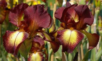 cayeux iris fr