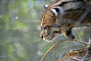 Fishing Cat Photo by Sylvestermouse