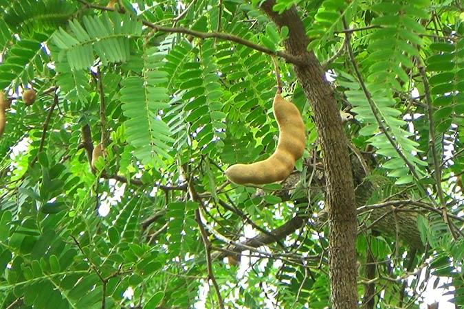 Dlium Tamarind (Tamarindus indica)