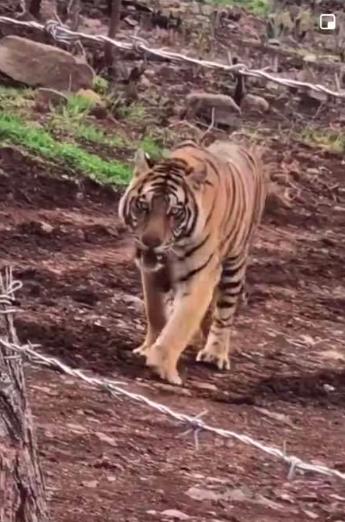 ¿Has visto el video del tigre entre el agave? Lo que sabemos hasta ahora