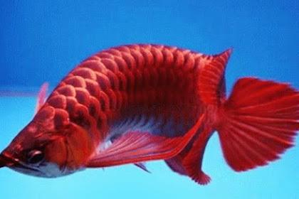 Tips Memelihara Ikan Arwana yang Baik dan Benar untuk Pemula
