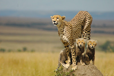 Top Most viewed Cheetah Wallpaper