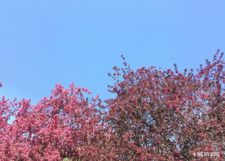 Crabapples in Bloom // Garden Updates: Mid-Spring 2018 // www.thejoyblog.net