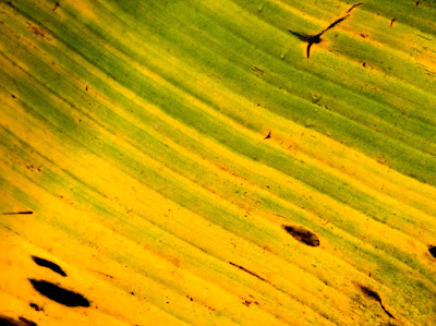 Close up of yellow banana leaf.