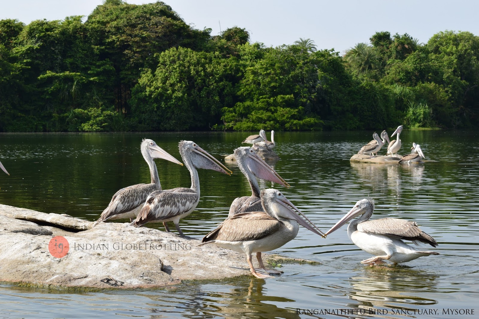 Spot Billed Pelican in Ranganathittu Bird Sanctuary