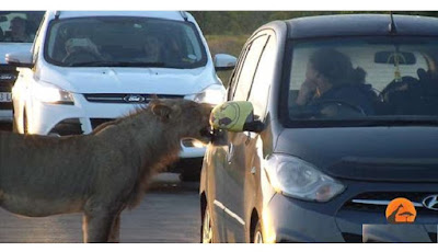 Singa buka pintu pakai gigi.