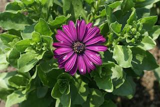 Marguerite du Cap 'Asti Purple' - Osteospermum 'Asti Purple'