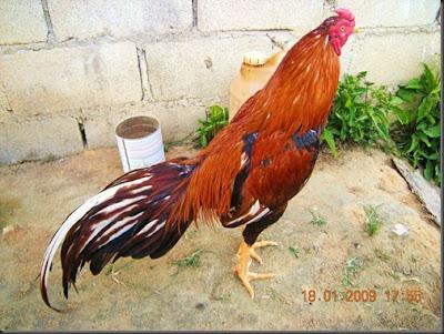 91 Gambar Ayam Wangkas Paling Bagus