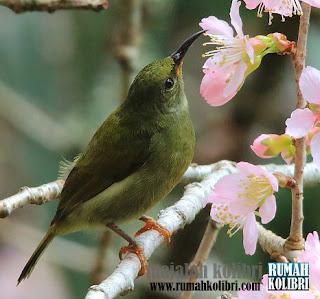 perbedaan kolibri merak jantan dan betina gacor