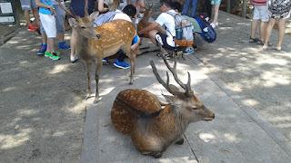 Ciervos sika macho