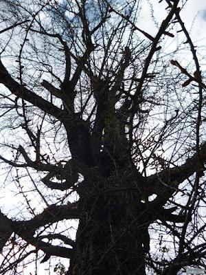 白山神社ご神木のいちょう