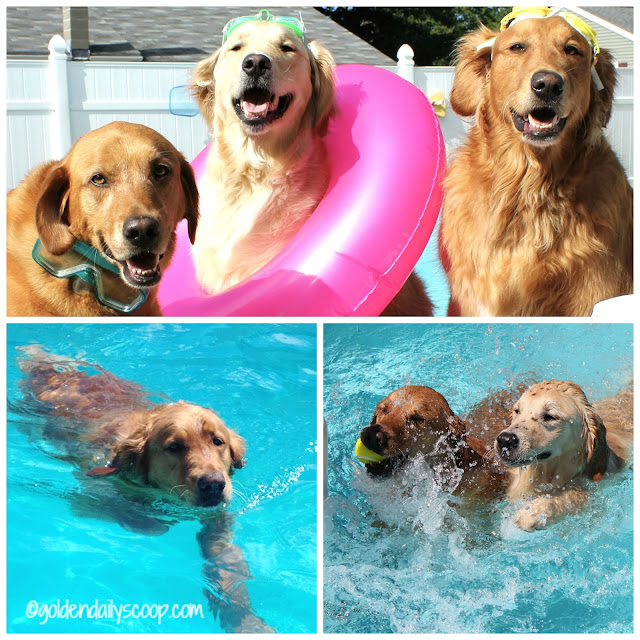 golden retriever dogs swimming in pool