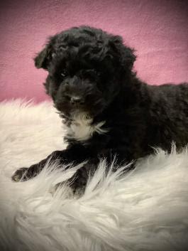 Scottish Terrier Poodle mix  (Scoodle) Temperament, Size, Adoption, Lifespan