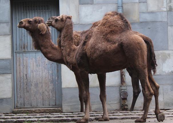 kamele-im-berliner-zoo