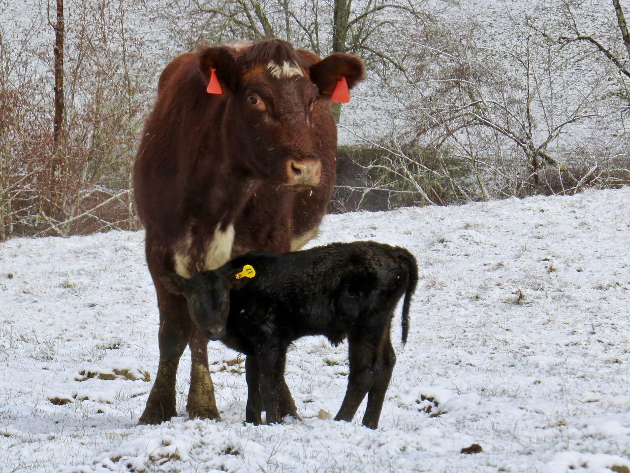 LuAnn Kessi: Baby Calves....in the SNOW