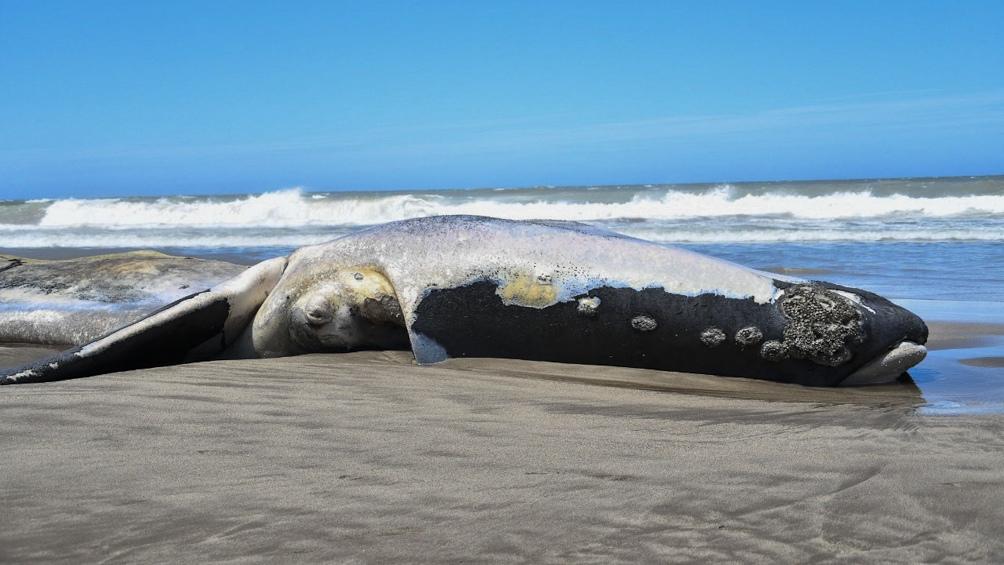 ballena franca austral fue encontrada muerta en Necochea