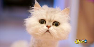 قطط مضحكة: أفضل 5 مقاطع فيديو
