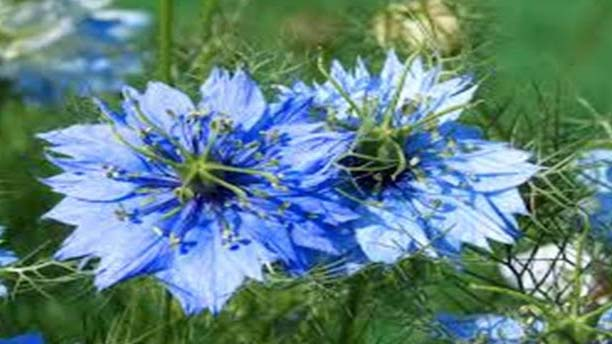 The old Arabic books also talks about the benefits of Nigella seeds.  The history tells us that it was first cultivated in Rome and then all over the world. The Nigella plant is about 45 centimeters high, whereas its leaves are 2-4 centimeters long and are divided into 2-3 parts.