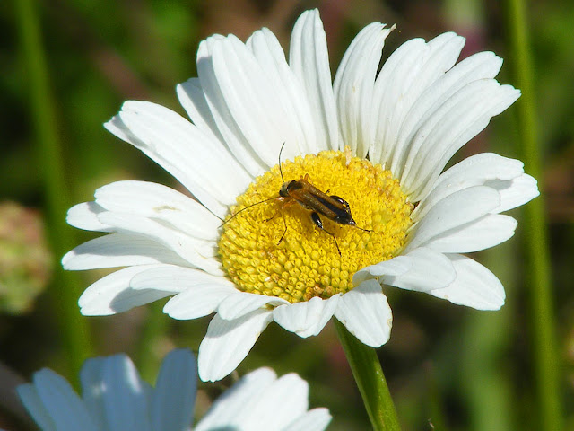 Oedemera podagrariae on oxeye daisy.  Indre et Loire, France. Photographed by Susan Walter. Tour the Loire Valley with a classic car and a private guide.