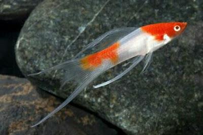 ikan hias pedang