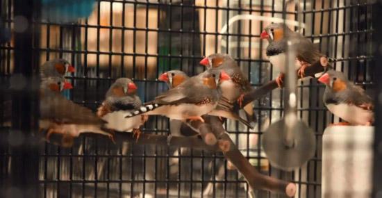 Memórias falsas são implantadas em pássaros - Por quê - Capa