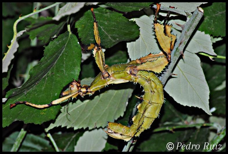 Hembra adulta (verde) de Extatosoma tiaratum, 12 cm de longitud