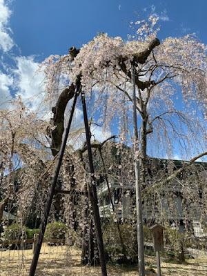 釈迦殿納牌堂付近の桜