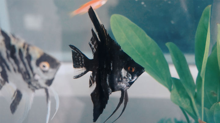 black veil angelfish