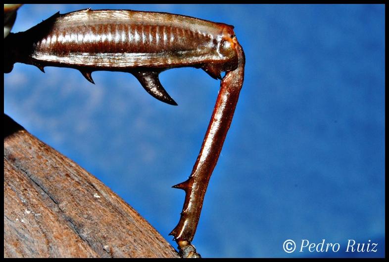 Detalle del femur y espolón de un macho adulto de Eurycantha calcarata