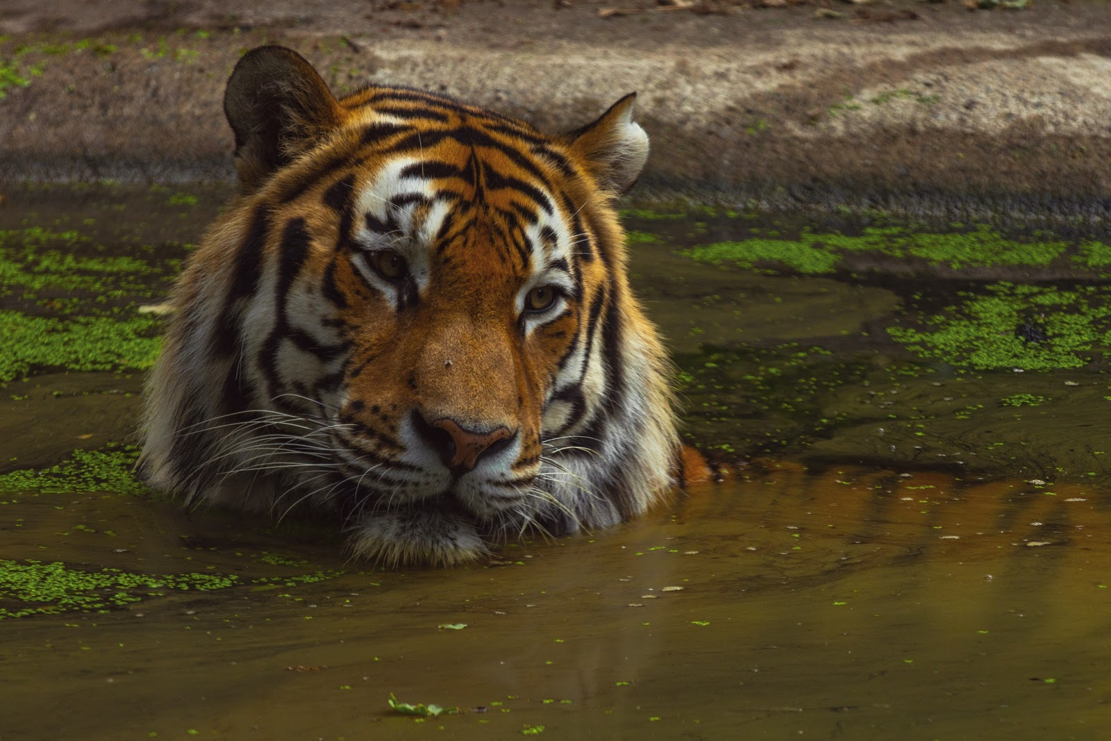 tiger-relaxing-in-water-images