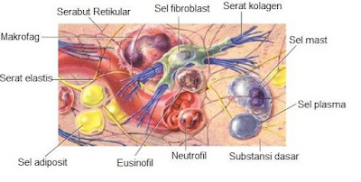 Jenis sel dalam jaringan ikat