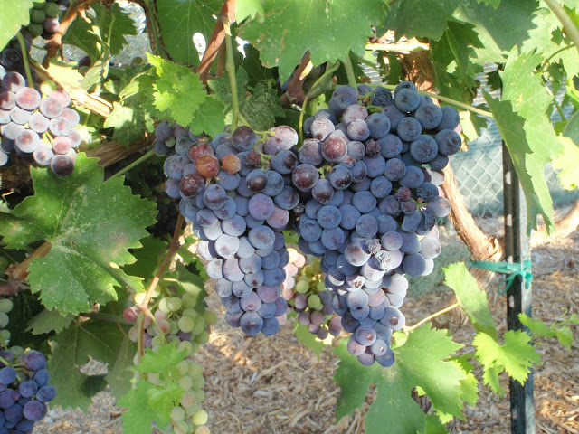 Xtremehorticulture of the desert grape pruning classes - Difference between wine grapes and table grapes ...