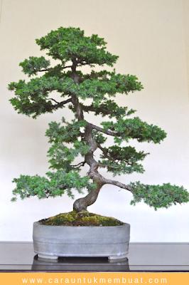 Bonsai Juniperus rigida