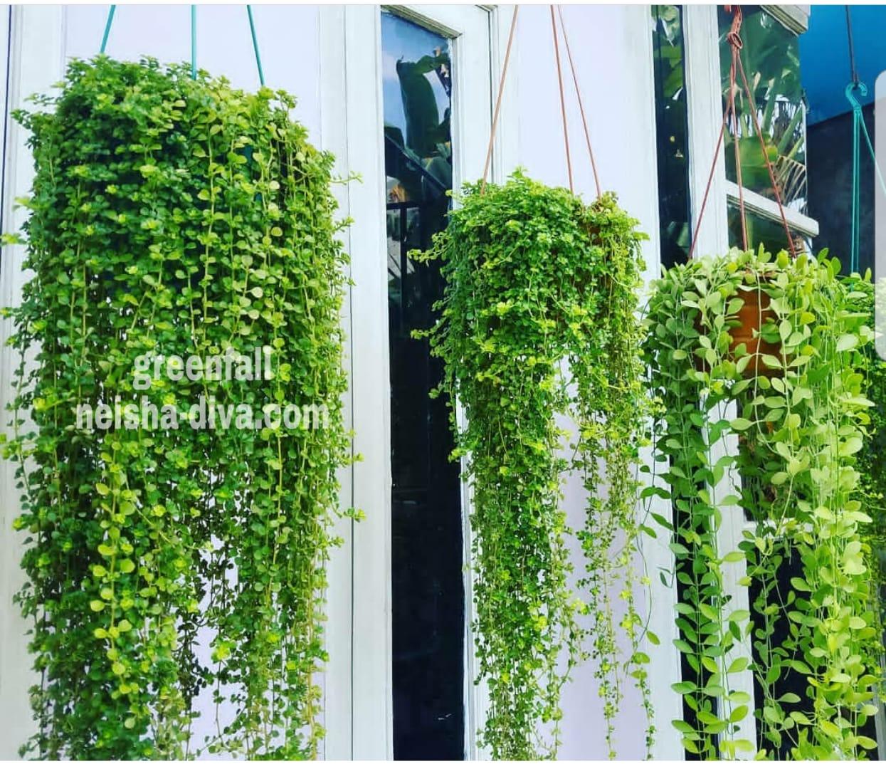 Rumah Bunga Neisha Rumah Bunga Neisha Green Fall Bunga Gantung Berdaun Hijau Segar Dan Cantik
