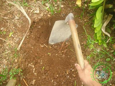 FOTO 2 : Gali tanah untuk penanaman kopyor