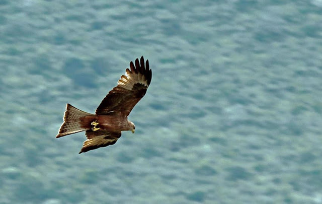 Capturing Birds in Flight - Black Kite