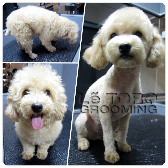 Squido の ペット不思議の国: Poodle Grooming